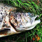 Denne Laksen ble  tatt i Aa elven i Sogn og fjordane! Dette er en oppdrettslaks med absurde mengder Lus. Sånn ser det ut å bli spist levende....